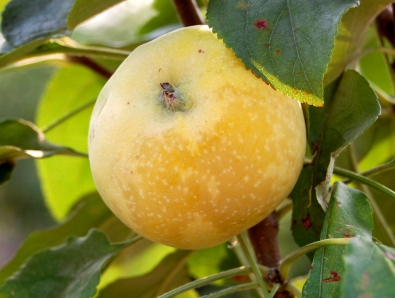 яблоня китайка золотая фото